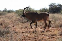 Breeding bull 31 inch