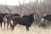 Sable cow 8-9G