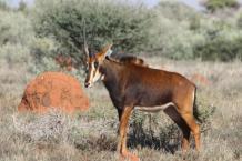 Sable heifer 5-11B