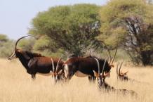 Sable cows